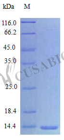 Cusabio/NPTN/10 μg plasmid + 200μl Glycerol/CSB-CL016028HU