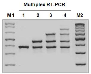 NanoHelix/One-Step RT-PCR Kit [<i>Hot-Taq</i>]/Custom/BORTH