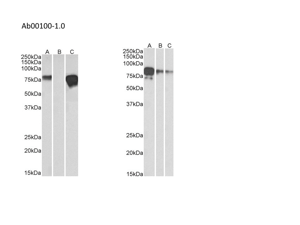 absoluteantibody/Ab00100-11.0 Anti-c-myc epitope tag [9E10]/Ab00100-11.0/ 200 µg
