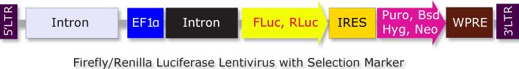 Biosettia/Firefly Luciferase  (FLuc)-IRES-Hyg Lentivirus/Nucleic Acid Purification/GlowCell-14h