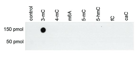 Bpsbioscience/Anti–3–mC polyclonal antibody/25200/50 µg