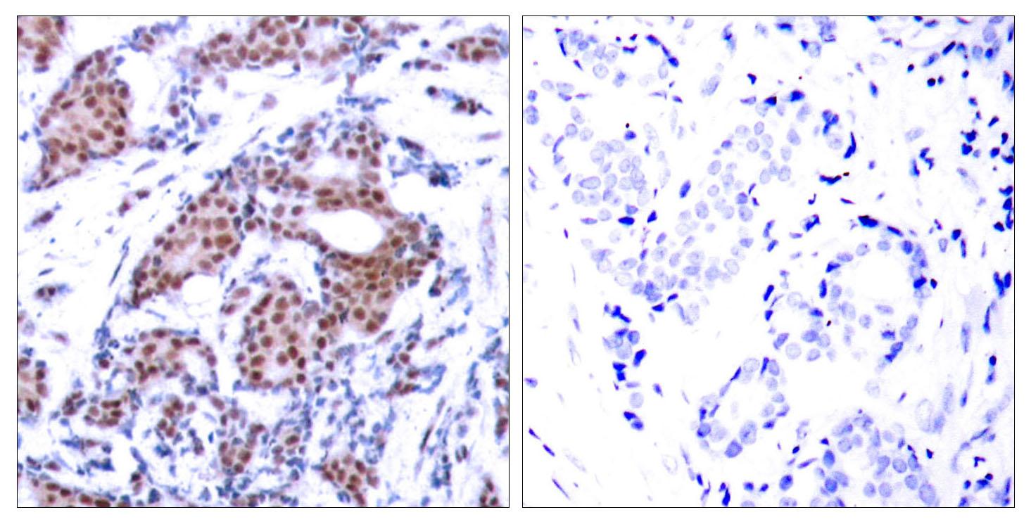 enogene/Elk-1 (Phospho-Ser383) Antibody/100μg/100μl/E011004-2