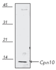 Enzolifesciences/Cpn10 polyclonal antibody/ADI-SPA-110-F/200µg