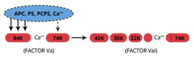 Haematologic Technologies/Bovine Activated Protein C/BCAPC-1080/50 µg