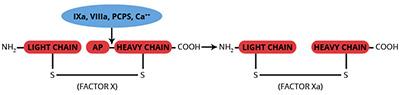 Haematologic Technologies/Human Factor IXa, EGRck-active site blocked/HCIXA-EGR/100 µg