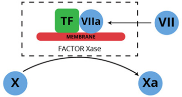 Haematologic Technologies/Human Factor VIIa/HCVIIA-0031/20 µg