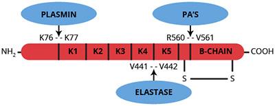 Haematologic Technologies/Human Plasmin/HCPM-0140/500 µg