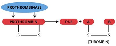 Haematologic Technologies/Bovine alpha-Thrombin, DFP active site blocked/BCT-DFP/200 µg