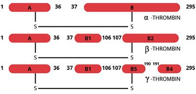 Haematologic Technologies/Human Gamma Thrombin/HCGT-0021/100 µg