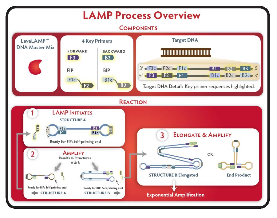 Loop-mediated Amplification Process (LAMP)
