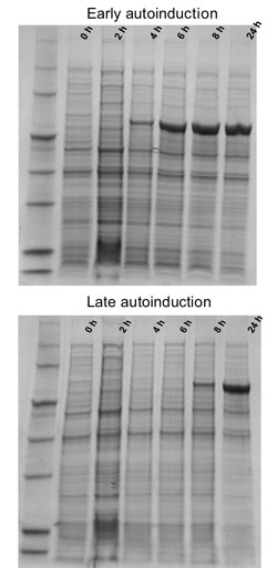 Autoinduction of protein expression