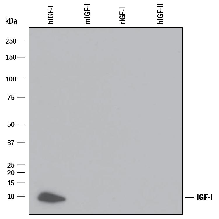 R&D Systems/Human IGF-I Antibody/MAB291-SP/25 ug