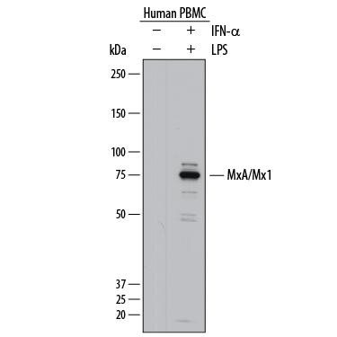 R&D Systems/Human MxA/Mx1 Antibody/AF7946/100 ug